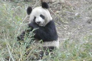 pandas and horses, eating