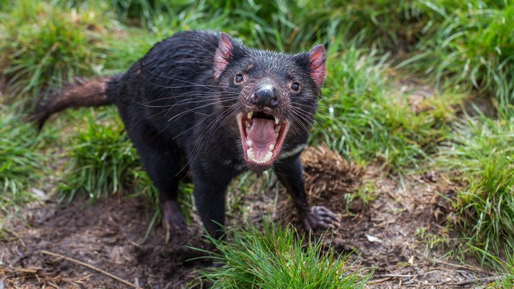 Tasmanian devils wipe out colony of little penguins in major conservation backfire