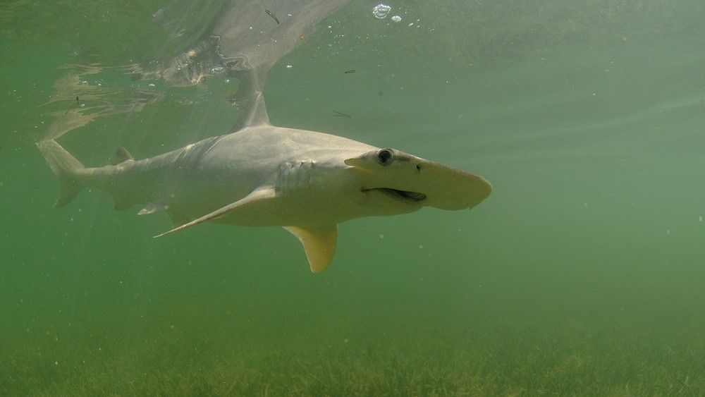 Sharks hide in Florida canal to escape toxic red tide sweeping the coast