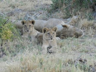Life is tough for lion cubs, but especially males: Only about 1 in 8 male lions survive to adulthood.