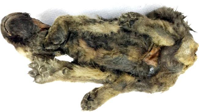Filhote mumificado morreu na Sibéria há 18.000 anos ... e pode ser um lobo (ou algo parecido)