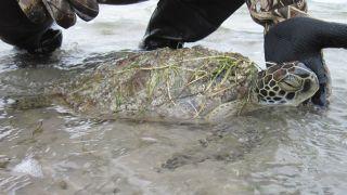 stunned turtles