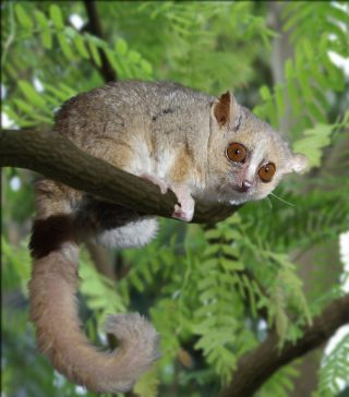 Female Lemurs Benefit From Multiple Mates, Study Suggests