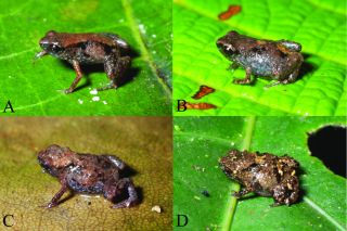 tiny frogs, Paedophryne genus, species from new guinea, miniaturized species,