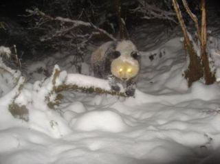 giant-panda-snow-110309