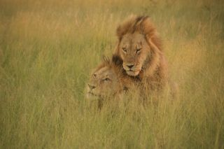 Long-maned male lions mount each other in Botswana