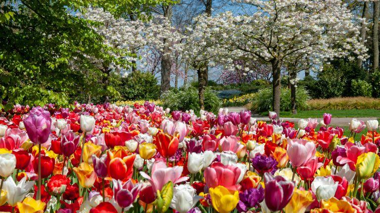 spring garden jobs: tulips