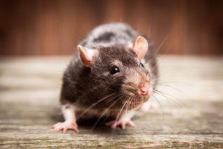 rat, pet rat