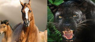 panther vs bronco