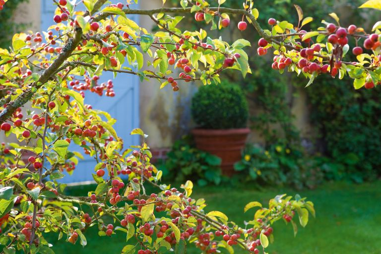 autumn berry tree in a garden