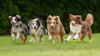 Two border collies and two australian shepherd dogs racing across a grassy field