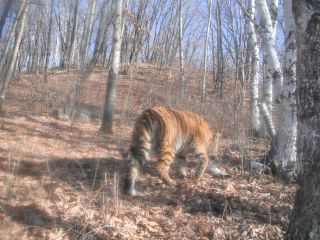 Siberian tiger caught on camera