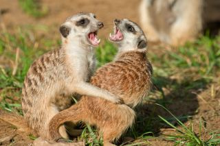 Two meerkats fighting.
