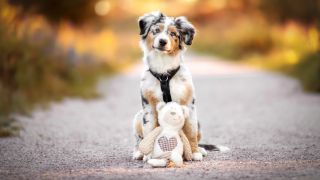 Homemade puppy teething toys: Australian Shepherd puppy standing outside with soft toy
