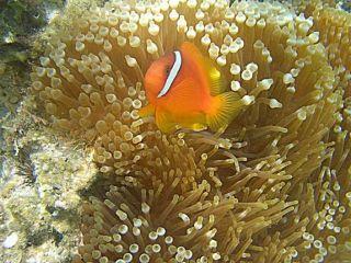 clownfish-anemone