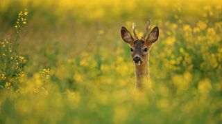 5 tips for photographing roe deer from a wildlife award-winner