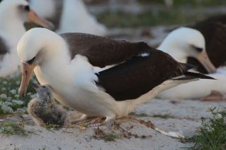 Wisdom the Albatross with her chick