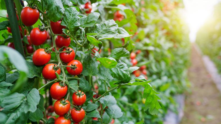 Cherry tomatoes growing on a vine