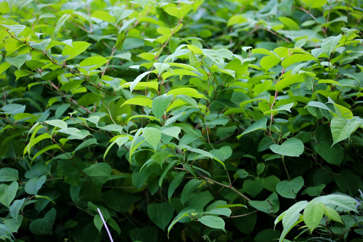 Foraging enthusiasts are cooking Japanese knotweed in a bizarre culinary trend