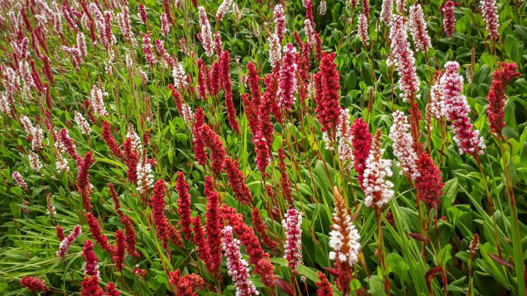best ground cover plants: persicaria