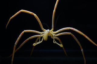 Sea spiders pass oxygen to their extremities via their gut fluids, rather than the substance they have in lieu of blood called hemolymph.