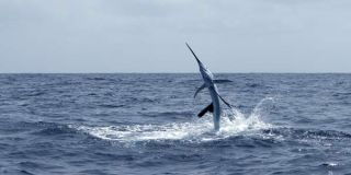 sailfish-leap-100818-02