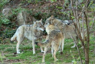 A pack of grey wolves in Slovenia.