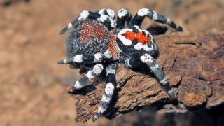 A splash of red and white on the spider's back resembles the Joker's facial makeup.