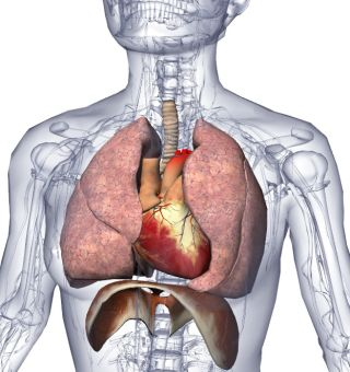 Biodigital human heart and lungs