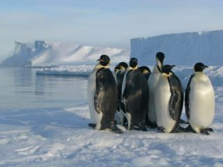 Emperor penguins photographed here on the Brunt ice shelf near the British Antarctic Survey Halley Research Station.