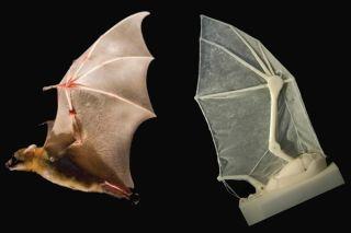 biology, engineering, flight, bat, bats, ro-bat