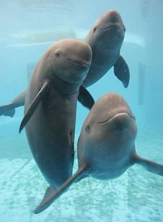 The Yangtze finless porpoise.