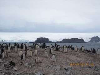 Here a colony of penguins on the Fildes Peninsula, which is located off the coast of Antarctica on King George Island, the largest of the South Shetland Islands.