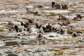 sea otters, habitat, kelp