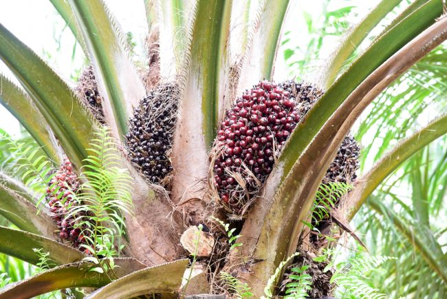 Palm oil is made from the pulp of oil palm fruit.