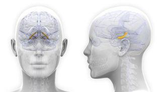 women-hippocampus