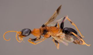 new species, Soul-sucking dementor wasp