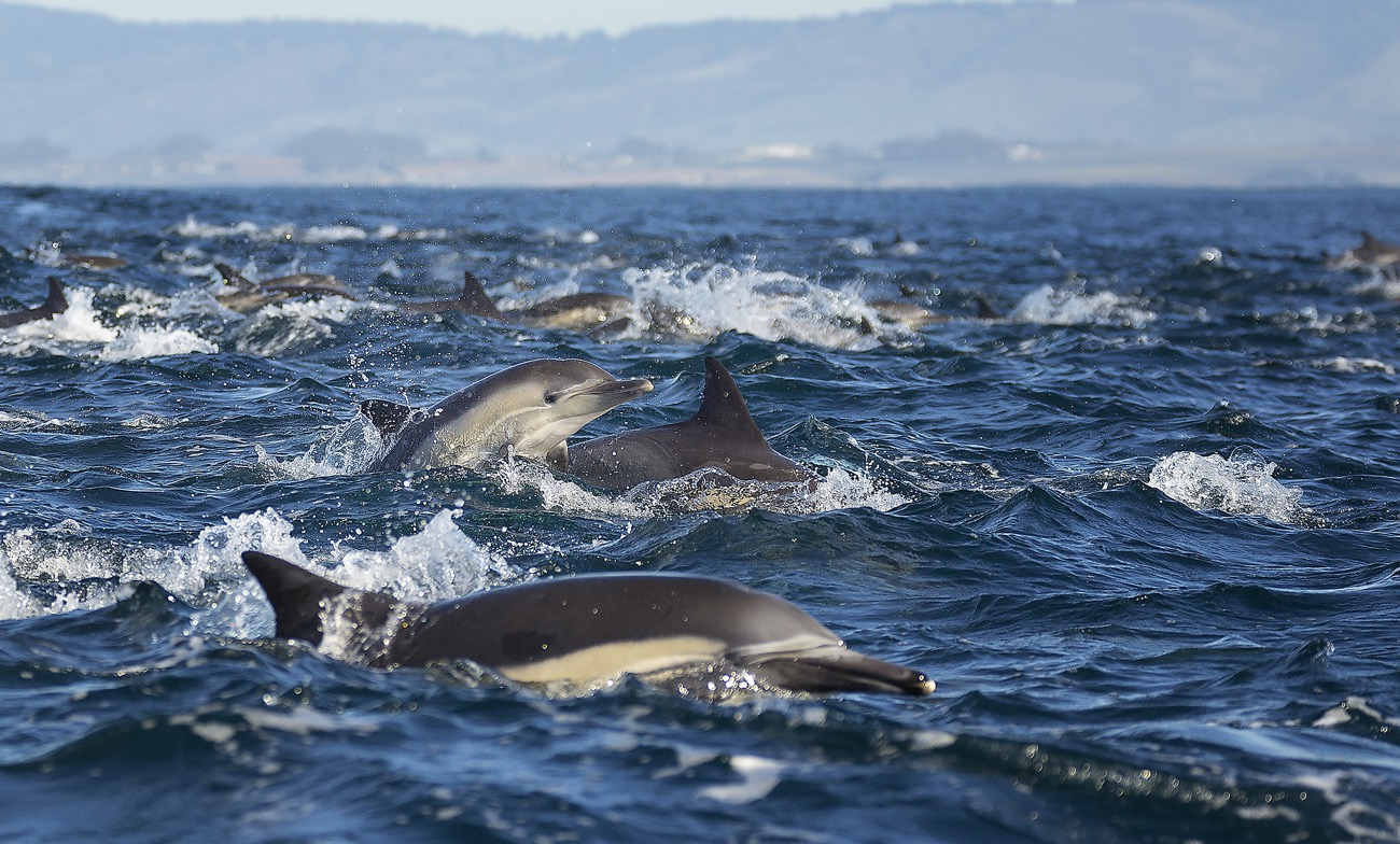 Watch: Dolphin Superpod Chases Billions of Baitfish in Monterey Bay | Live Science