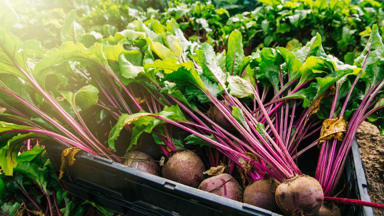 close-up of beetroot being harvested
