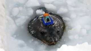 A Weddell seal sports a video data recorder that scientists use to create a three-dimensional map of its movement in the water as it hunts for prey. Researchers hope to learn more about their hunting behavior during late-winter darkness and how the seals