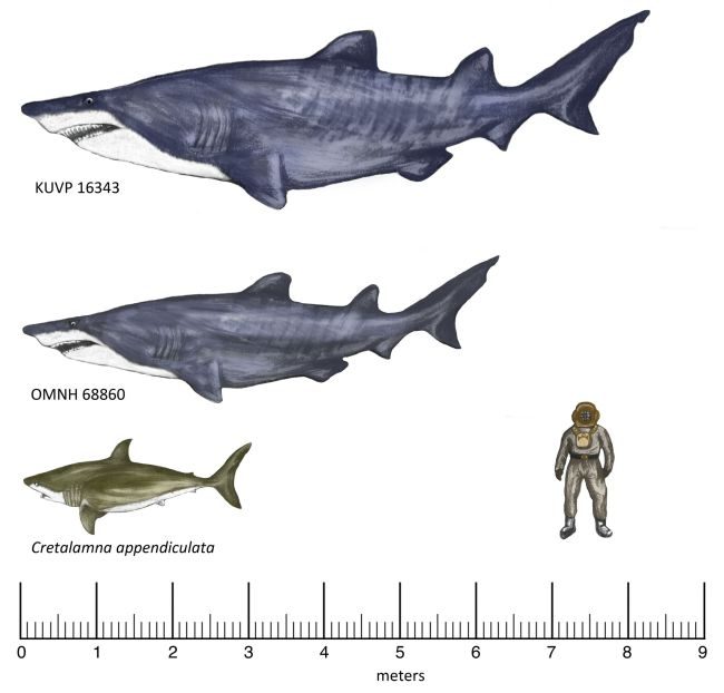 New fossils unearthed in Texas suggests that sharks during the Early Cretaceous were much larger than previously thought. The top image shows the estimated body size of a shark fossil found in a 100-million-year-old deposit in Kansas. The middle shark's size. The bottom shark is another known shark species that trawled the ancient oceans. (Image: © Frederickson et al.)