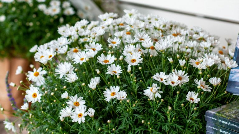 Daisy flower trees trend