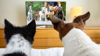 Videos for dogs: Two dogs watching TV in bed cozy together
