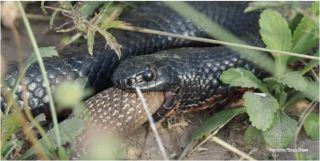 Red-bellied black snake eats brown snake