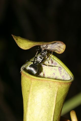 Ant on a pitcher plant.