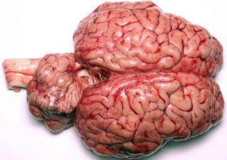 100524-cow-brain-02