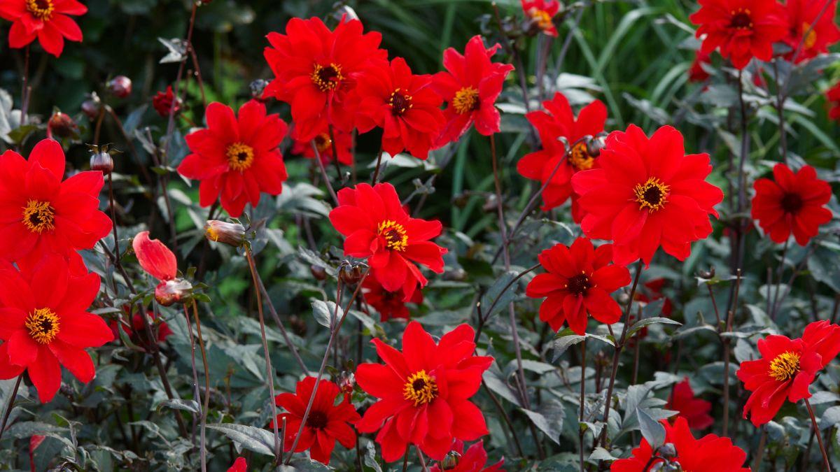 Carol Klein reveals her favorite dahlias – we can't wait to start growing them