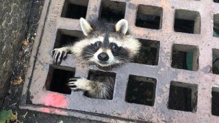 A raccoon is stuck in a sewer grate.