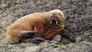 Wally the walrus pictured in Pembrokeshire, Wales.