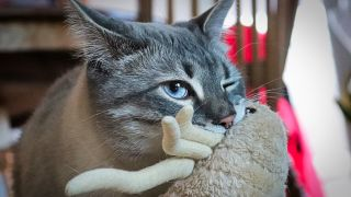 A grey cat holding a toy in his mouth